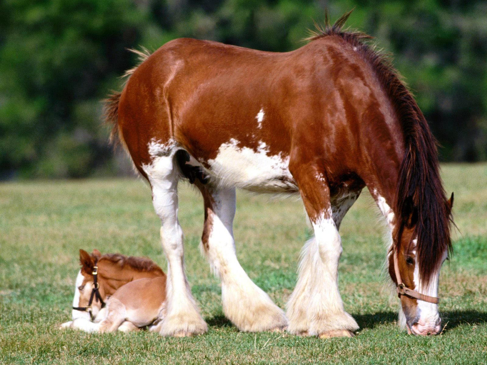 Strength Personified, Clydesdale Mare and Foal.jpg